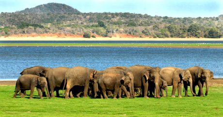 safari-elephant-minneriya-national-park