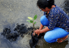 planting mangrove seedlings sustainability at ksl